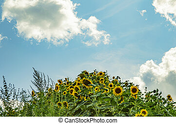 Hill with sunflowers on the background of a cloudy sky.