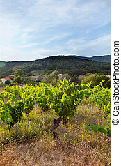 Hill With Vineyard In France