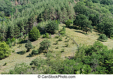 Hills and pine forest