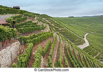 Vineyards on hills of Baden-Wurttemberg area in Germany