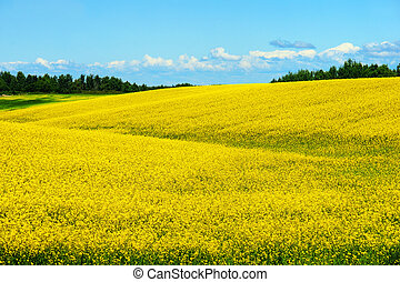 Hills of canola in bloom - Fields and hills covered in...
