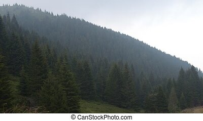 Hills of Conifer Trees - Panning to the left over conifer...