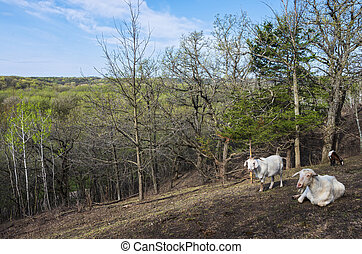 Hillside and Goats Overlooking Woodlands of Flandrau State Park