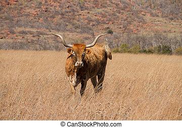 Hillside Texas Longhorn