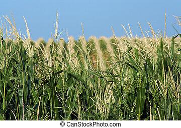 cornfield on the rolling hills north of Schuyler, Nebraska