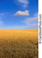 Hilly landscape: cornfield.