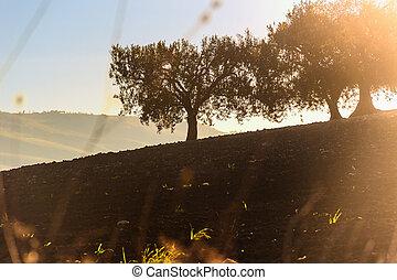 Hilly landscape:Olive trees.