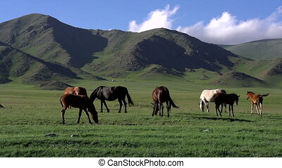 Hilly Pasture in the Foothills - Herd of horses grazing...