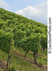 hilly vineyard #1, Stuttgart