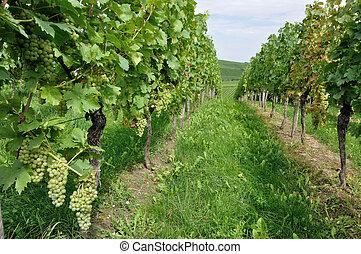 hilly vineyard #10, baden