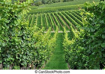 hilly vineyard #2, baden
