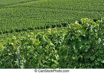 hilly vineyard #4, baden