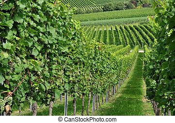 hilly vineyard #5, baden