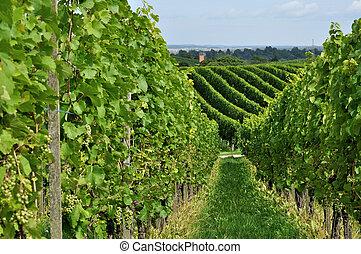 hilly vineyard #8, baden