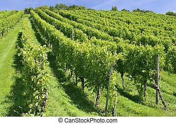 hilly vineyard, Stuttgart