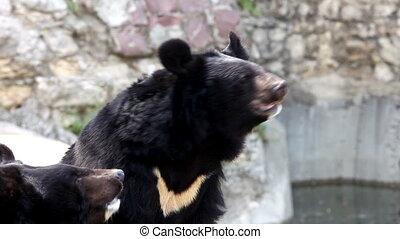 Himalayan bear catch food in zoo