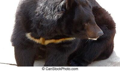 Himalayan bear sit and lick