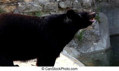 Himalayan bear walk for food in zoo