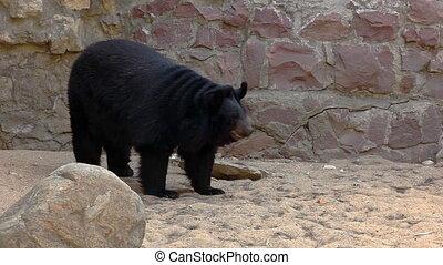 Himalayan bear walk in zoo