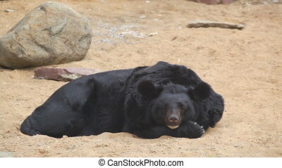 Himalayan black bear in a zoo