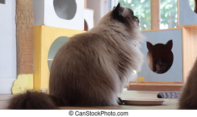 Himalayan cat need some more snack, stock footage