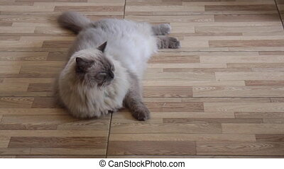 Himalayan cat relaxing at home, stock footage