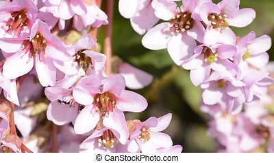 Close up pink himalayan saxifrage flowers in early spring