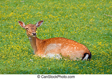 Hind in on a spot of grass in the forest