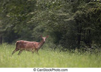 Hind walking on meadow - Alone hind (red deer female)...