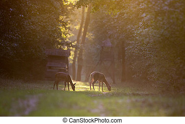 Hinds in forest - Two hinds (red deer female) grazing in...