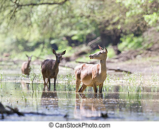 Hinds in water