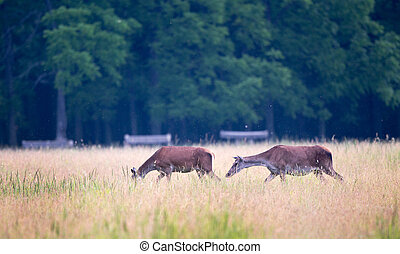 Hinds walking on meadow - Two hinds (red deer female)...