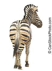 hintere ansicht, von, zebra