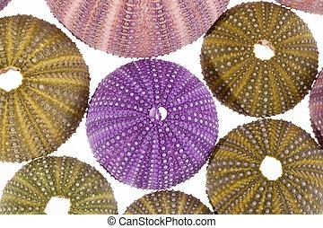 hintergrund, bengel, seashell, einige, freigestellt, meer, ...