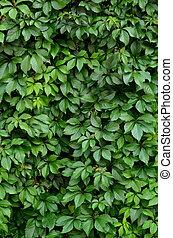 hintergrund, beschaffenheit, von, üppig, vegetation