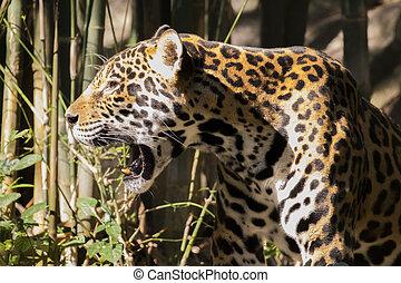 hintergrund., bild, jaguar, natur