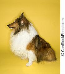 hintergrund., collie hund, gelber