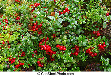 hintergrund., cowberry, grün, natur