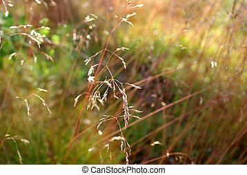 hintergrund, flexuosa, hair-grass, deschampsia, wellig