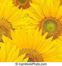 hintergrund, gemacht, von, schöne , sonnenblumen