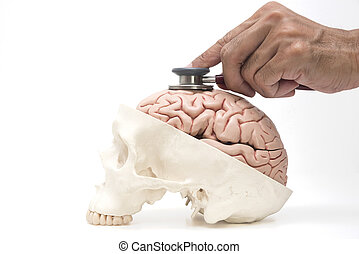 hintergrund, totenschädel, gehirn, stethoskop, menschliche , doktors, modell, weißes