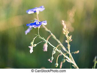 hintergrund, von, blühen, blaues, flachs
