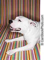 hintergrund., weißes, gestreift, gegen, hund