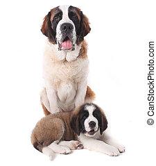 hintergrund, zwei, zusammen, bernard, heilige, hundebabys, weißes, mögen