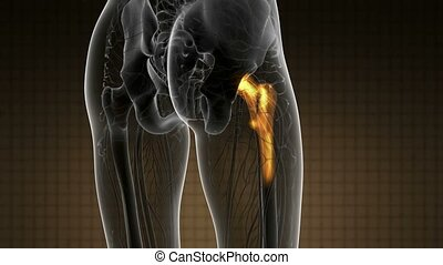hip bones anatomy medical scan