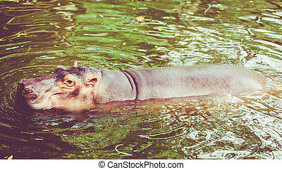 hipopótamo, em, water., bocejar, comum, hipopótamo