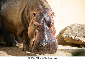 hipopótamo, sob, a, luminoso, verão, sol