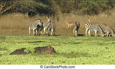 Hippo adults and calf in waterhole - hippopotamus...