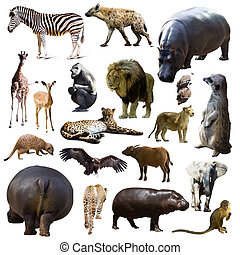 hippo and other African animals. Isolated