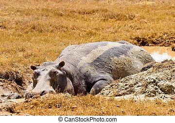 Hippo animal lying in the mud